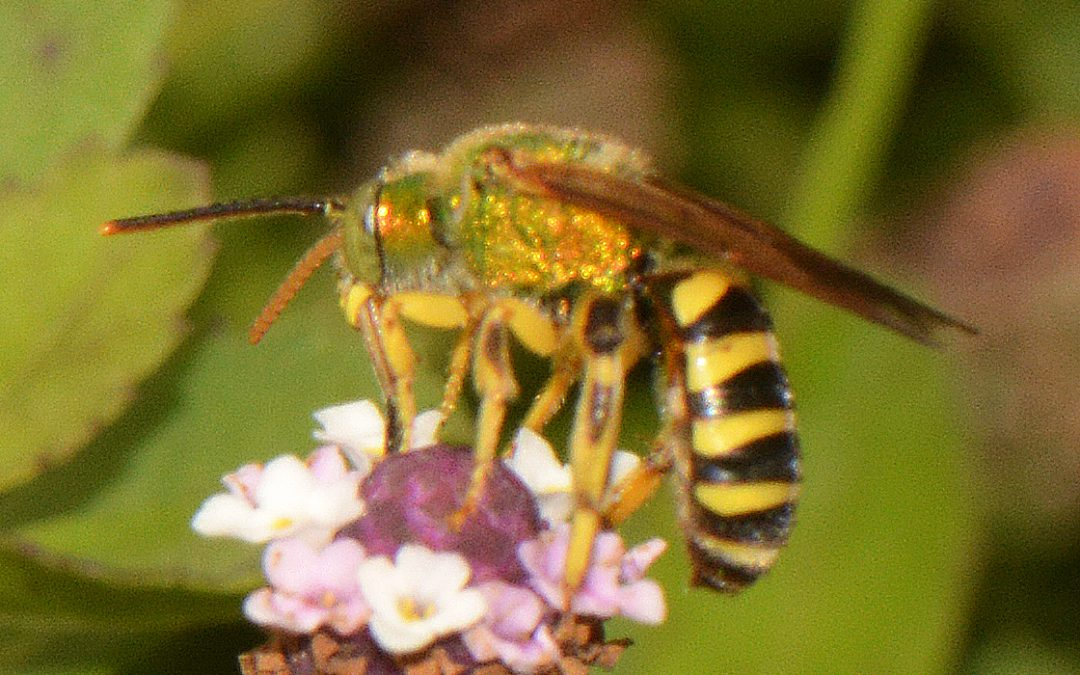 A Look at Some of Our Colorful and Intriguing Native Bees