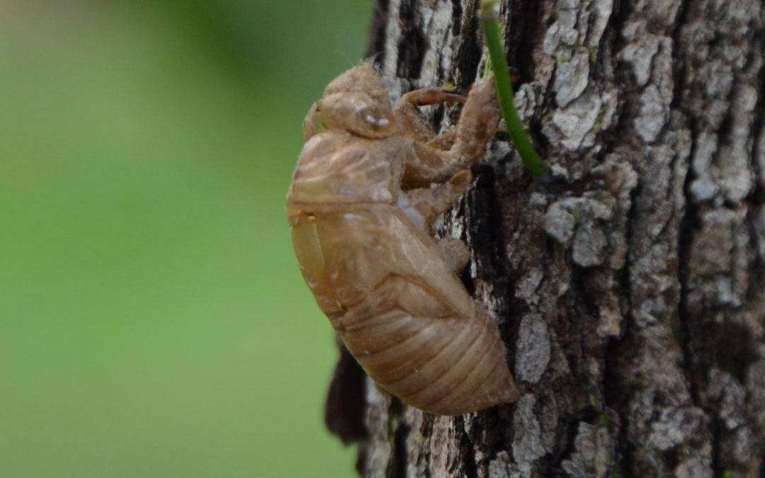 Silent Night It Is Not!!! Cicadas Sing the Evening Away.