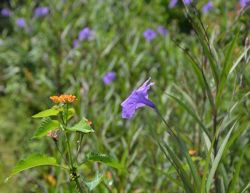 Lantana and Mexican Petunia blooms