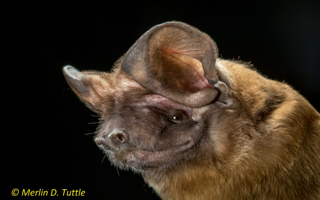 It's Bat Week! Did You Know Bats Eat Insect Pests?