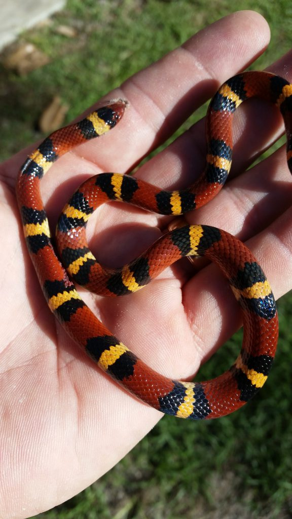 Roadkilled scarlet kingsnake in hand