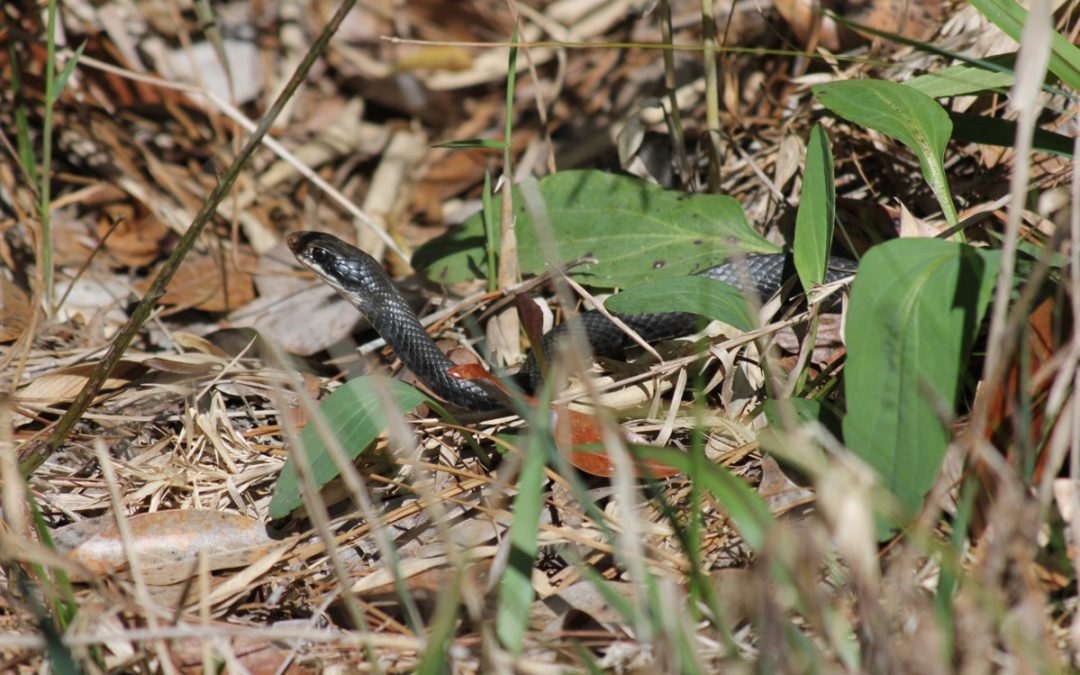 A Speedy Serpent – the Southern Black Racer