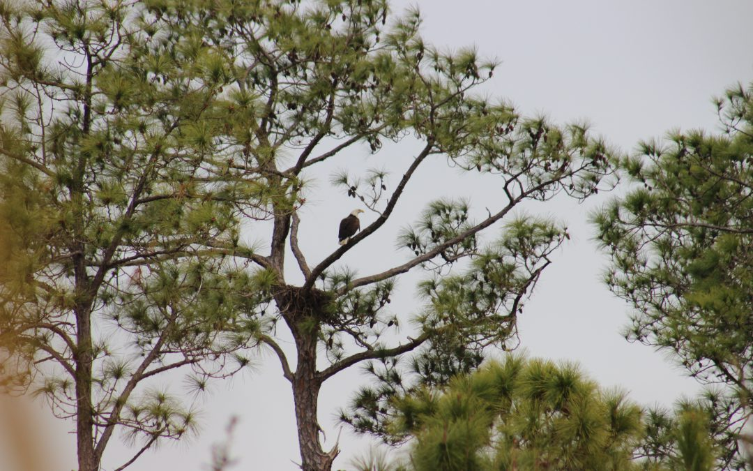 The Nesting Bald Eagles are Back