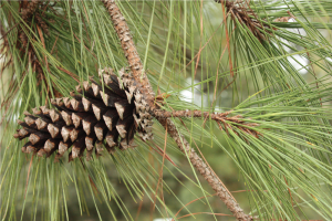 Pine cone attached to stem of pine tree
