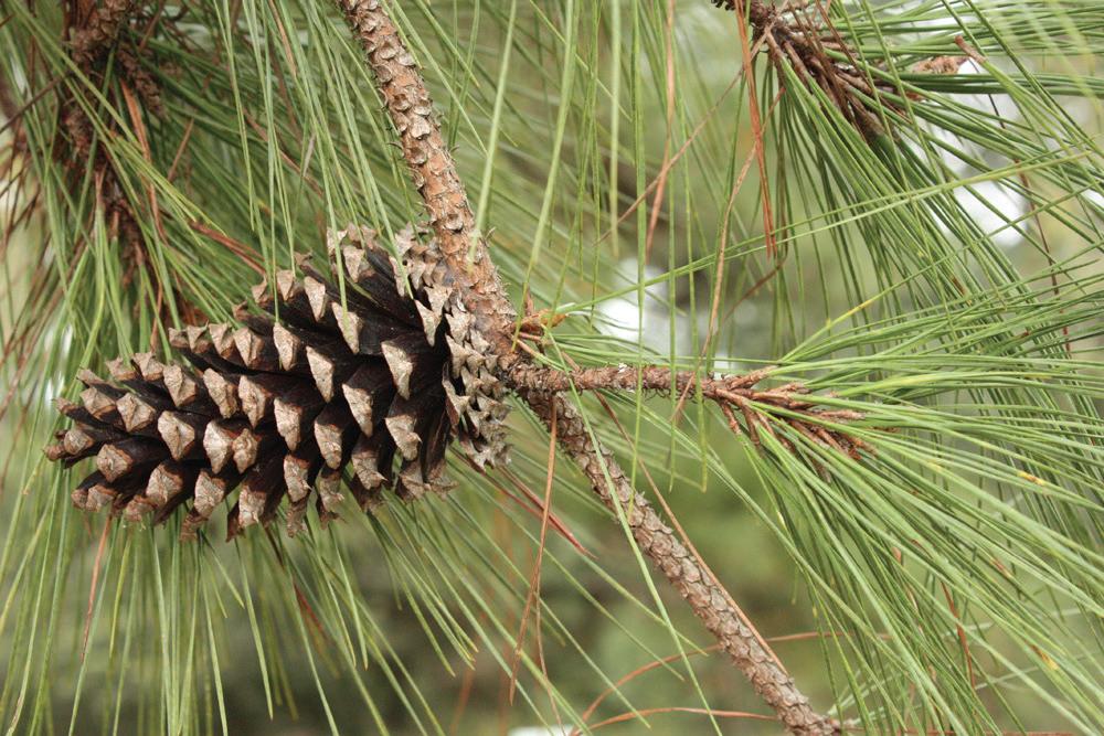 Pines of Florida