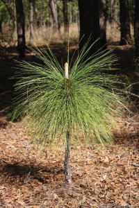 Small pine tree with long needles