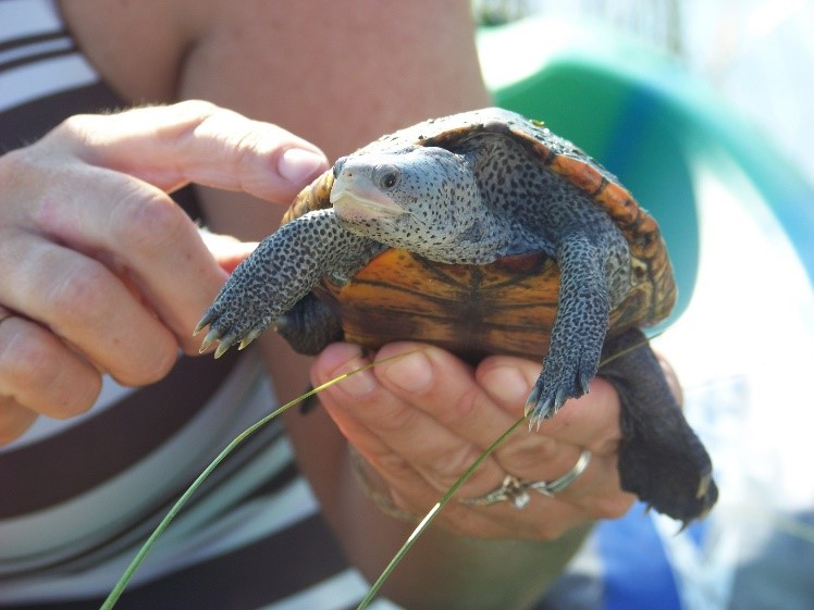 Diamondback Terrapin & Mangrove Surveys Kicking Off in Gulf County