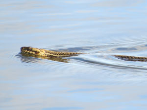 Another Mystery in the Marsh – The Gulf Salt Marsh Snake