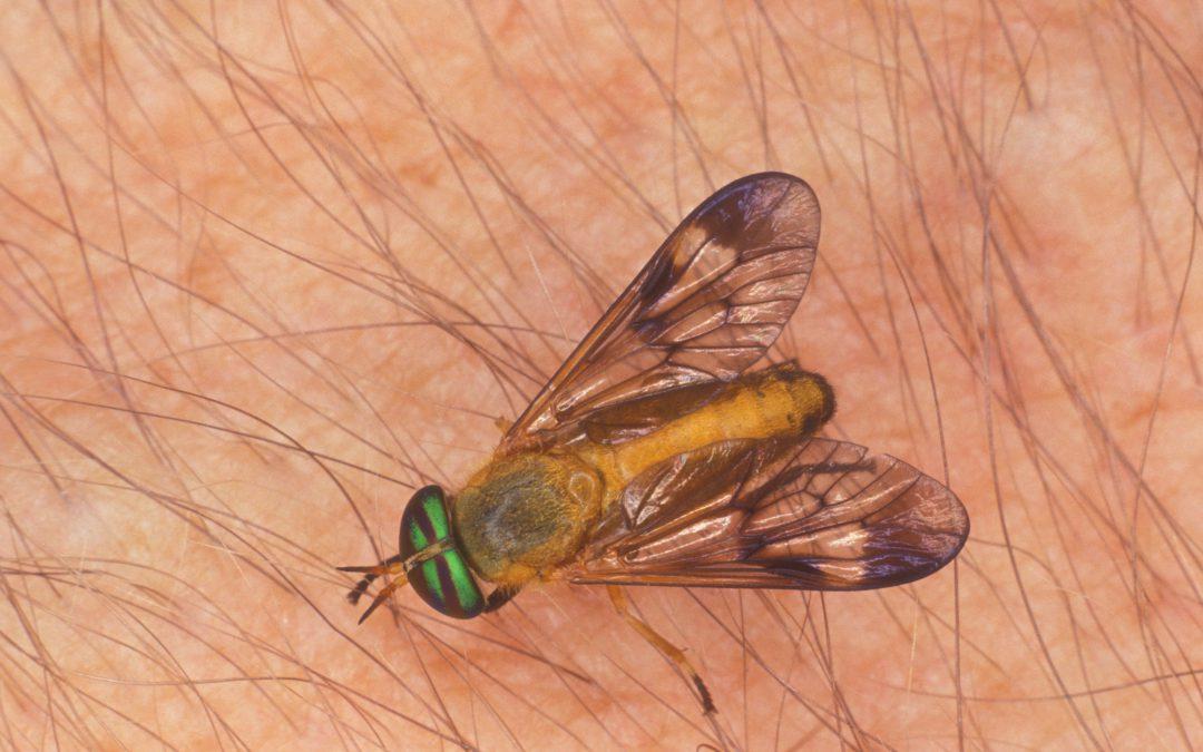 Yellow flies, deer flies and horse flies, oh my!