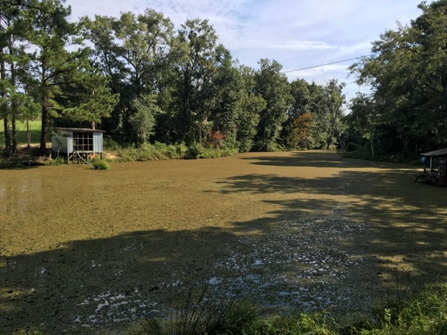 Aquatic Weed Control – Common Salvinia