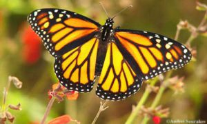 Orange and black buterfly