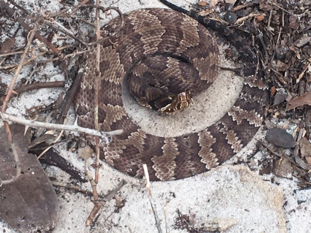 Snakes on Our Barrier Islands