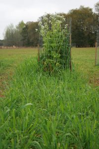 Daikon Radish and Buck Forage Oats plot with exclusion cage