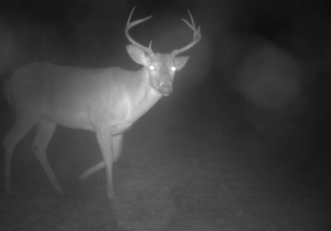 buck looking at camera