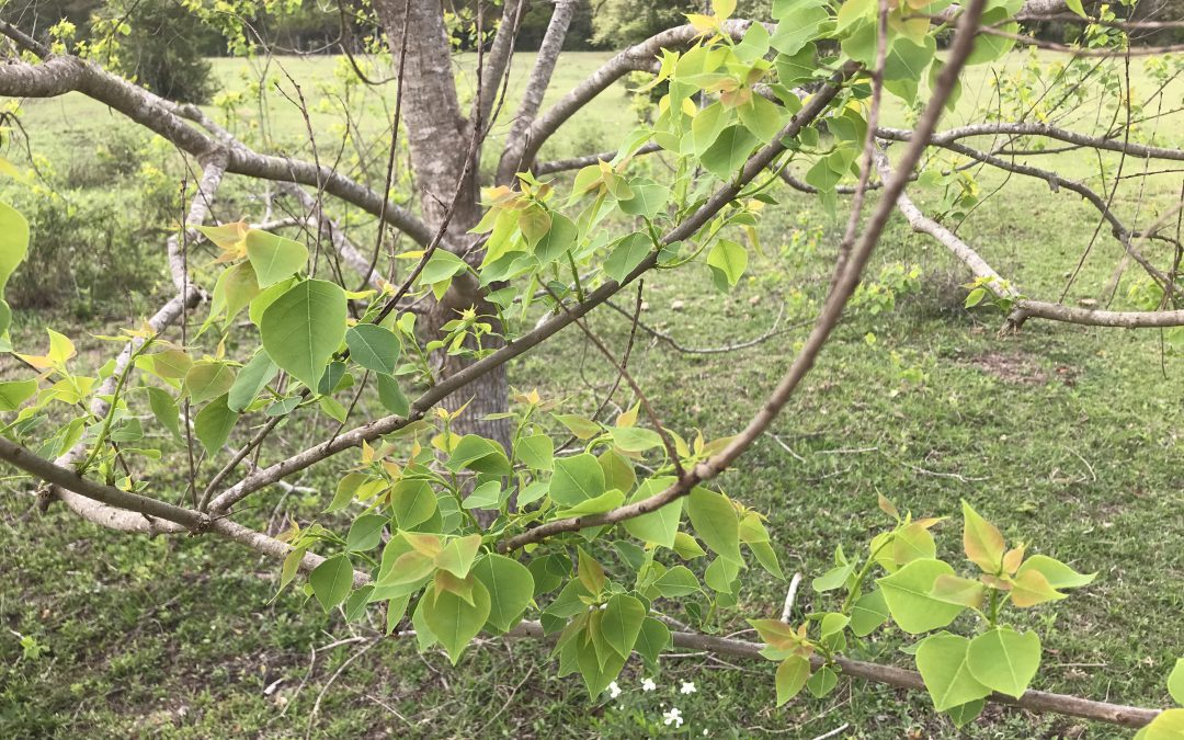 Getting Rid of Chinese Tallow Trees