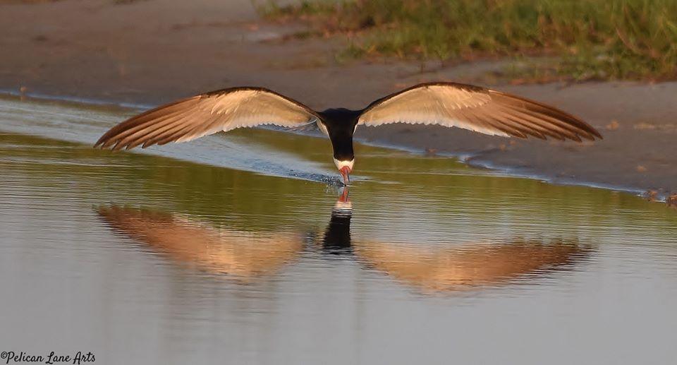 Share the Shore with Nesting Seabirds and Shorebirds!