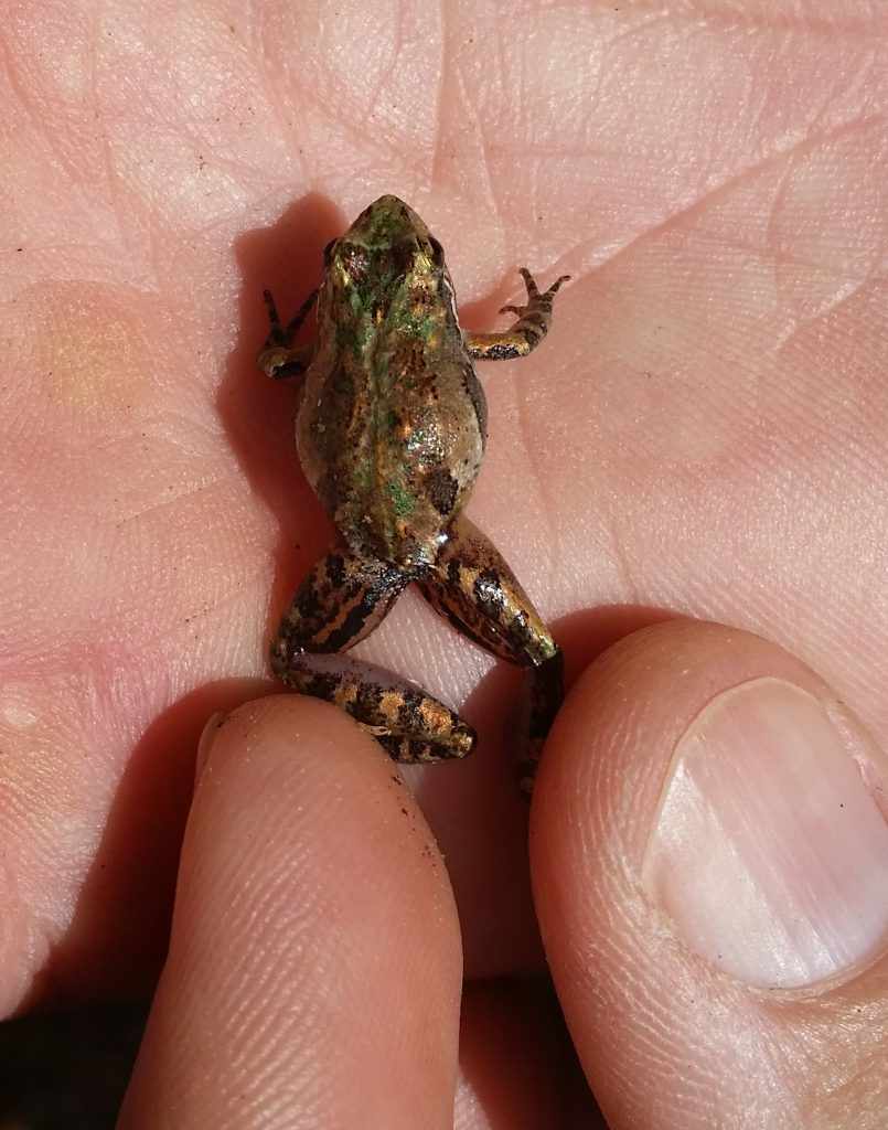 cricket frog on hand