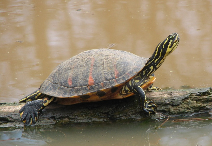 2020 Year of the Turtle – Florida Red-bellied Turtle