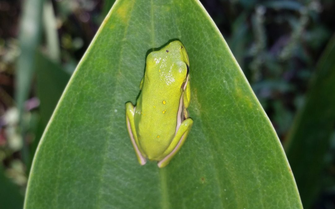 Heavy Rains Spark Explosive Breeding Events for Amphibians
