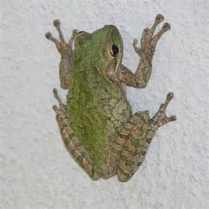 Are We Being Invaded by Cuban Treefrogs?  Maybe…