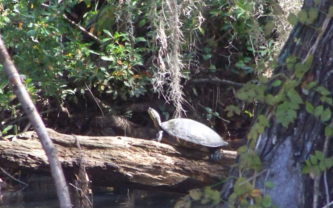 2020 Year of the Turtle – the Florida Cooters