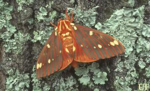 Large orange winged moth