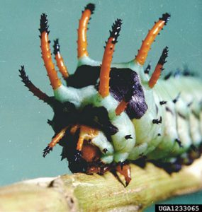 Green caterpillar with black horns