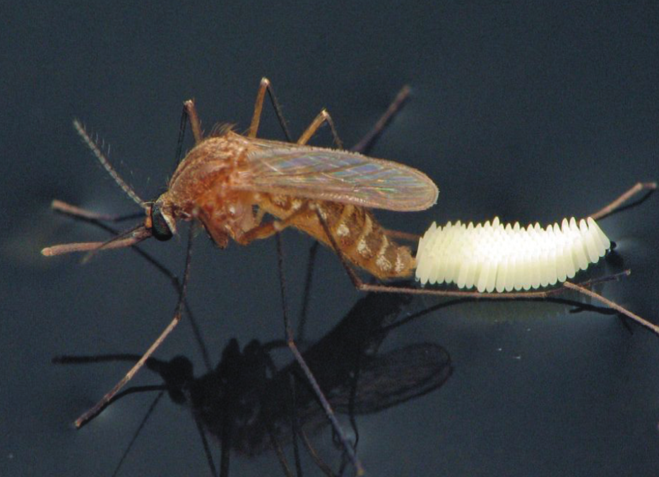 Storm Season and Mosquitoes, the Double Whammy
