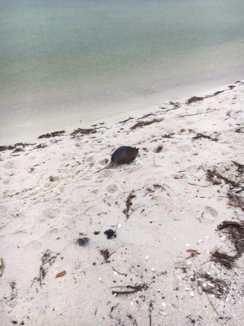 Barrier Island Mammals