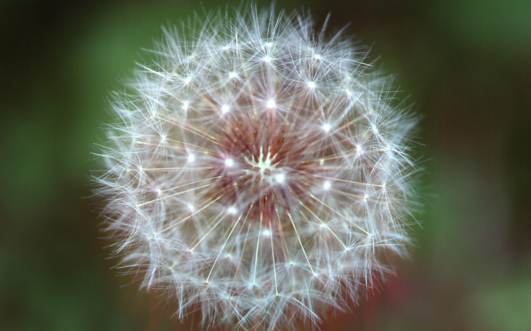 A Second Look at Dandelions