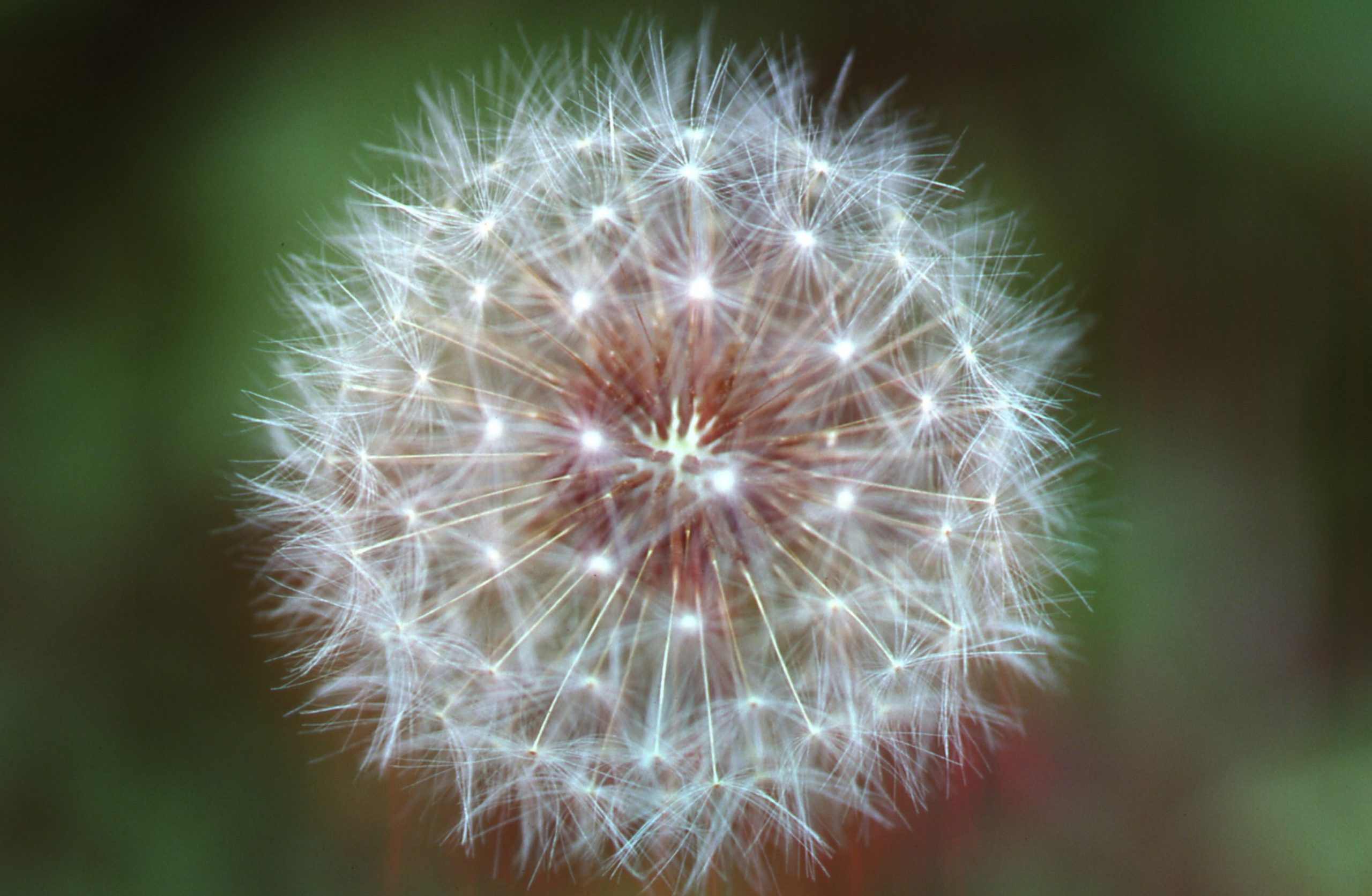"Dandelions form ""blow balls"" to disperse seeds by wind. Photo by Joseph OBrien, USDA Forest Service, Bugwood.org."
