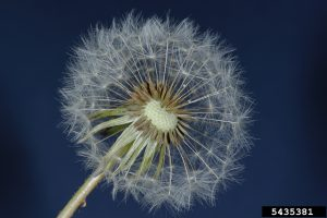 "A single dandelion ""flower"" can have more than 100 florets that each develop into a seed-like fruit that has a parachute-like pappus that can carry the seed up to five miles away. Photo by Joseph Berger, Bugwood.org."