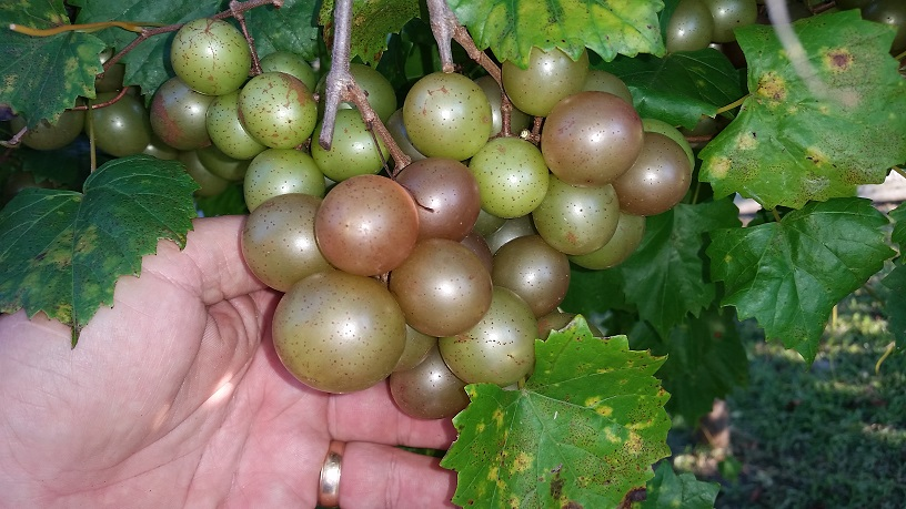 When is a Muscadine a Scuppernong?