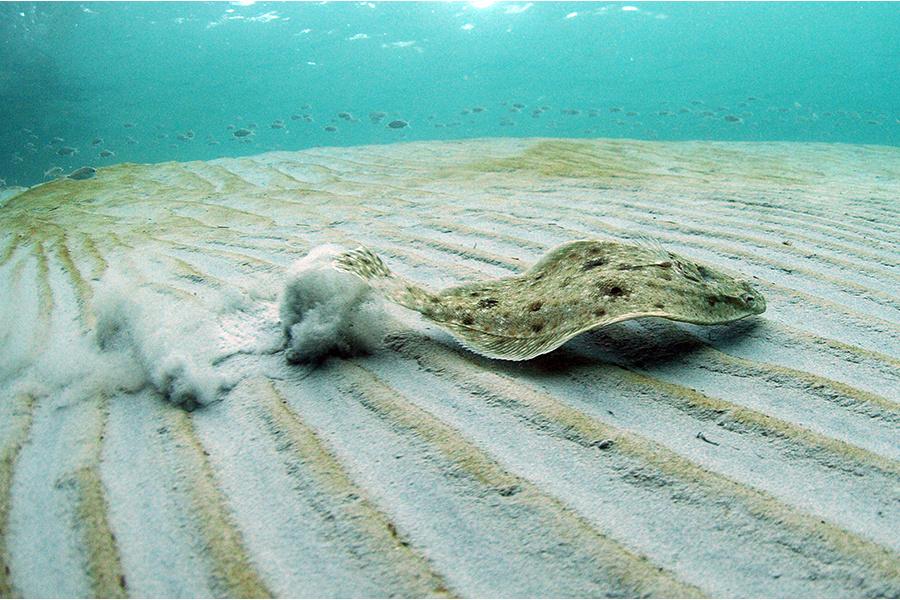 Marine Bottom Fish of the Florida Panhandle