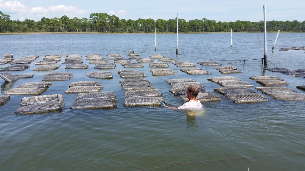 oyster grower in water with gear