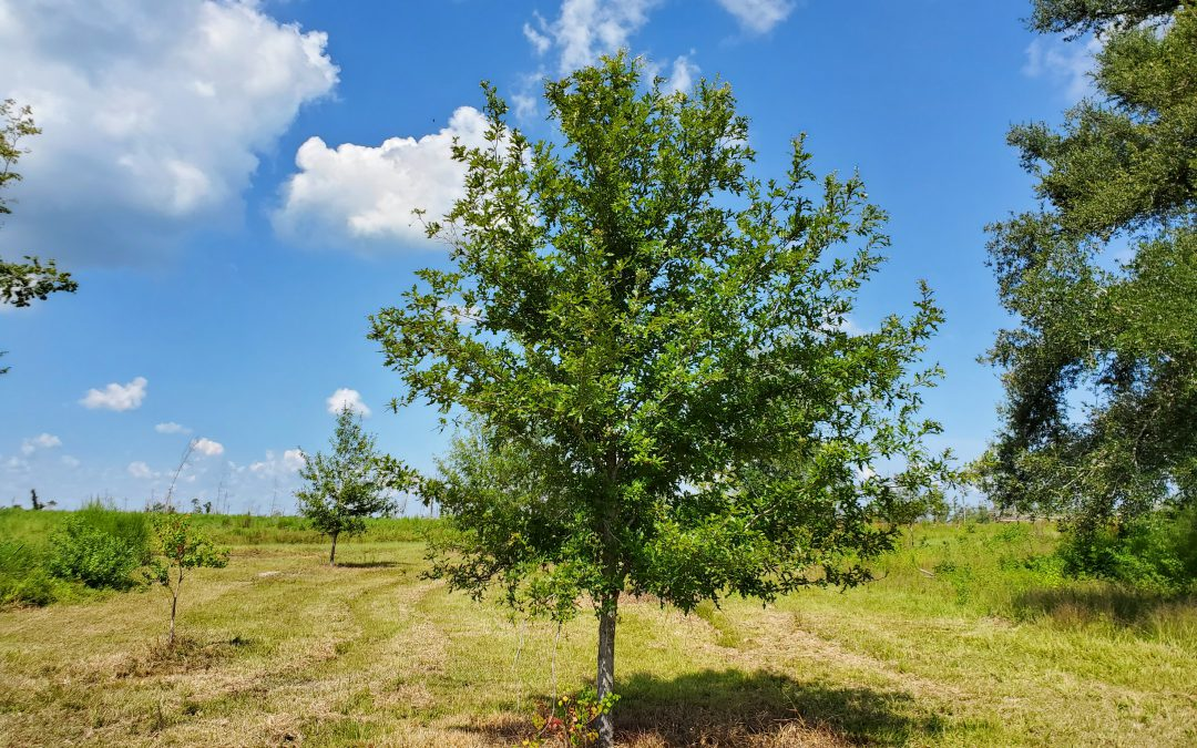 Overcup Oak – The Best Native Landscape Tree You've Never Seen