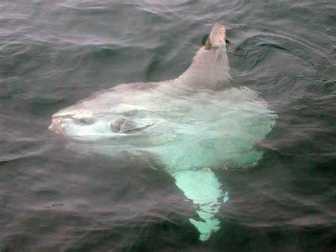 Marine Drifting Fish of the Florida Panhandle