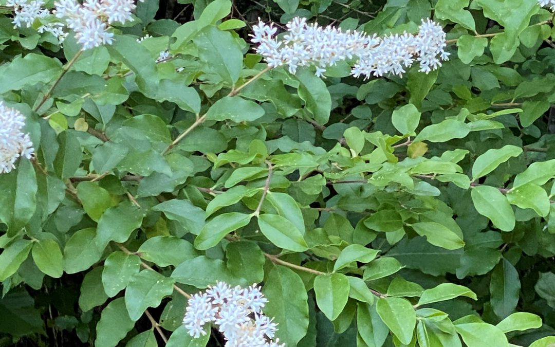 """Six Rivers """"Dirty Dozen"""" Invasive Species of the Month – Chinese Privet"""