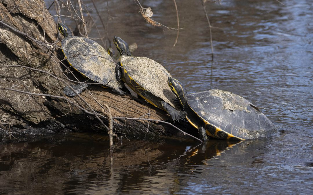 Streak-ed Heads, Softshells, Yellow-bellies and Red-bellies: River Turtles of North Florida