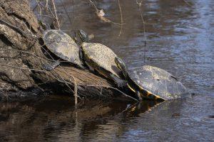 turtles basking on log