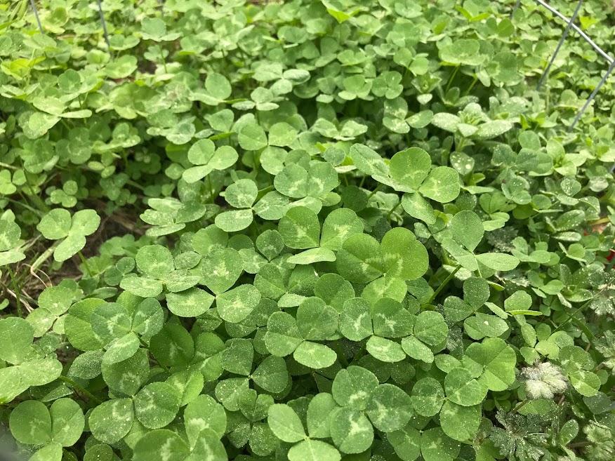 Grow Clovers not Weeds