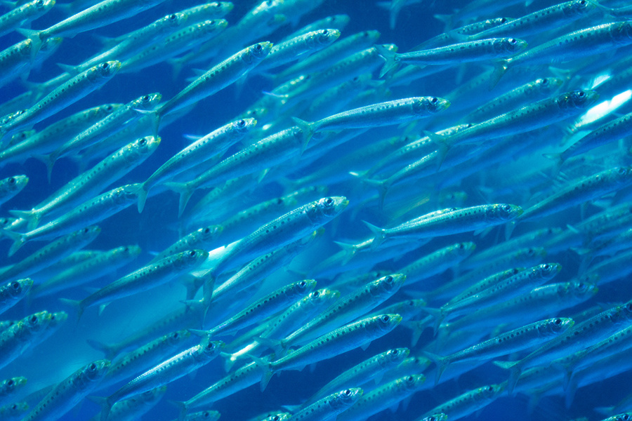 Herrings, Sardines, and Anchovies of the Florida Panhandle