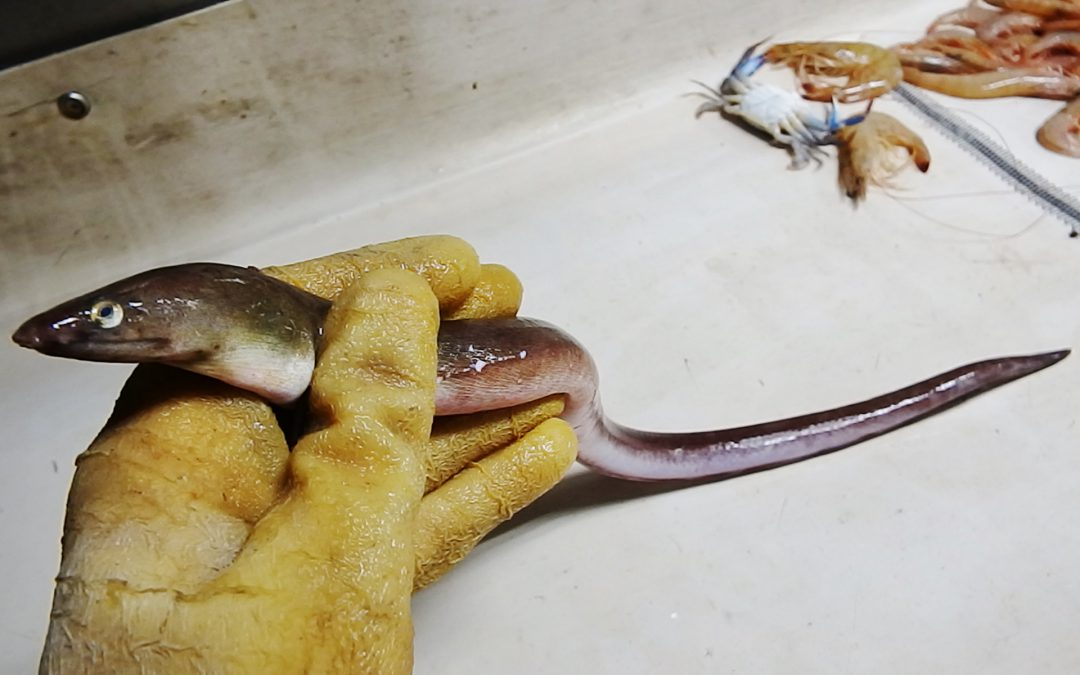 Eels of the Florida Panhandle