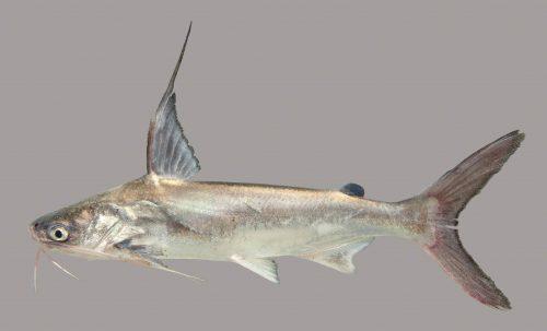 Catfish of the Florida Panhandle