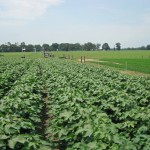 Using Dicamba on Dicamba-Tolerant Crops