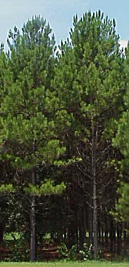 3rd quarter timber market report panhandle agriculture for Pine tree timber