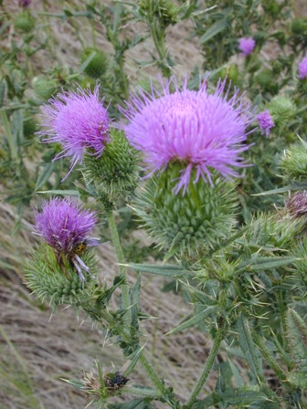 Controlling Thistle in Pastures