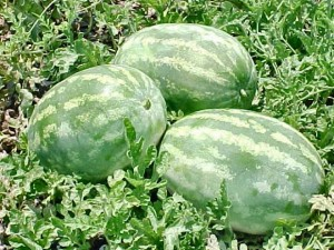 Tri-state Watermelon & Cucurbit Meeting