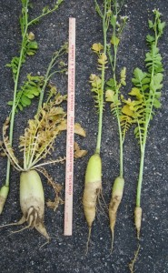 Measuring taproots of radish