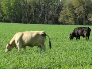 UF Cows